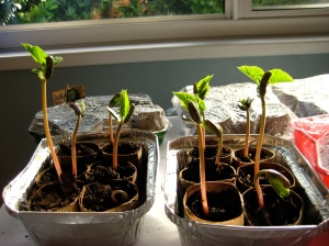 Bush beans seedlings in the sunny window