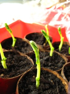 pretty peas sprouted